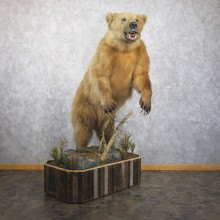 Alaskan Grizzly Bear Life Size Mount For Sale #21739 @ The Taxidermy Store