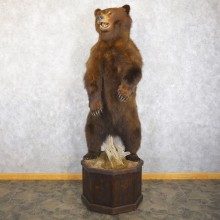 Alaskan Grizzly Bear Life Size Mount For Sale #22243 @ The Taxidermy Store