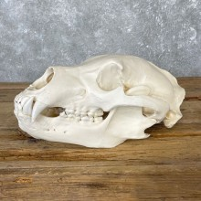 Alaskan Grizzly Bear Skull Mount For Sale #25057 @ The Taxidermy Store
