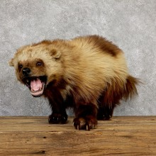 Alaskan Wolverine Life-Size Mount #19437 For Sale @ The Taxidermy Store