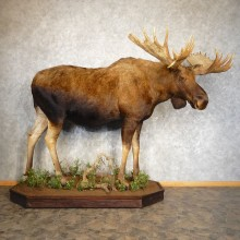 Alaskan Yukon Moose Life-Size Taxidermy Mount For Sale