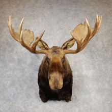 Alaskan Yukon Moose Shoulder Mount For Sale #20426 @ The Taxidermy Store