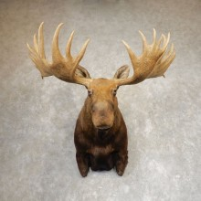Alaskan Yukon Moose Taxidermy Shoulder Mount For Sale