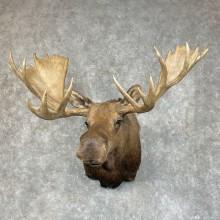 Alaskan Yukon Moose Taxidermy Shoulder Mount For Sale
