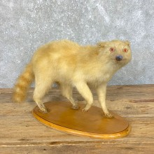 Albino Raccoon Life-Size Mount For Sale #23917 @ The Taxidermy Store