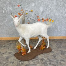 Albino Whitetail Deer Life-Size Taxidermy Mount For Sale