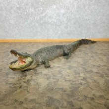 Alligator Life-Size Mount For Sale #22385 @ The Taxidermy Store