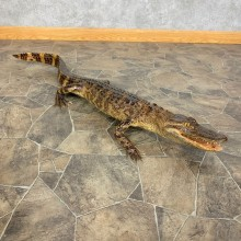 Alligator Life-Size Mount For Sale #23412 @ The Taxidermy Store