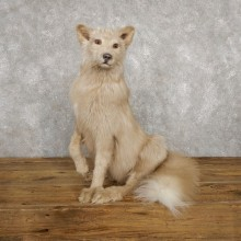 Amber Fox Life-Size Taxidermy Mount For Sale #18786 @ The Taxidermy Store