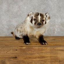 American Badger Life-Size Mount For Sale #19468 @ The Taxidermy Store