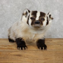 American Badger Life-Size Mount For Sale #19568 @ The Taxidermy Store