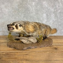 American Badger Life-Size Mount For Sale #22836 @ The Taxidermy Store
