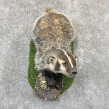 American Badger Life-Size Mount For Sale #23196 @ The Taxidermy Store