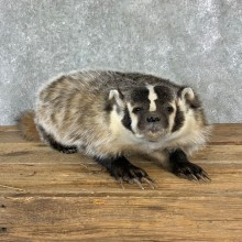 American Badger Life-Size Mount For Sale #23220 @ The Taxidermy Store