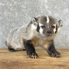 American Badger Taxidermy Mount For Sale