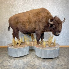 American Bison-Life-Size Mount For Sale #24268 @ The Taxidermy Store