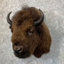 American Bison Shoulder Mount For Sale #23482 @ The Taxidermy Store