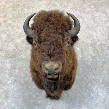 American Bison Shoulder Mount For Sale #23758 @ The Taxidermy Store