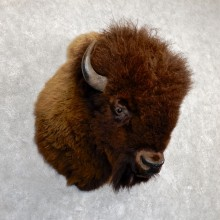 American Buffalo Shoulder Mount For Sale #19627 - The Taxidermy Store
