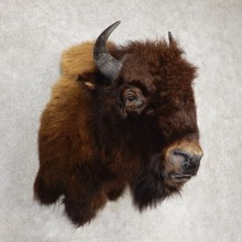 American Buffalo Taxidermy Shoulder Mount For Sale