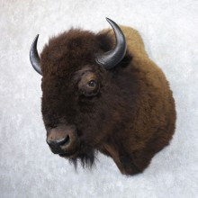 American Buffalo Shoulder Taxidermy Mount For Sale #22146 @ The Taxidermy Store
