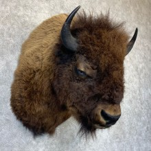 American Buffalo Shoulder Taxidermy Mount For Sale #23210 @ The Taxidermy Store