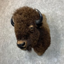 American Buffalo Shoulder Taxidermy Mount For Sale #23481 @ The Taxidermy Store