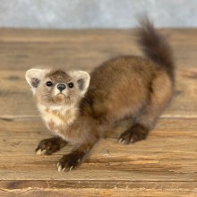 American Pine Marten Taxidermy Mount For Sale #23976 @ The Taxidermy Store