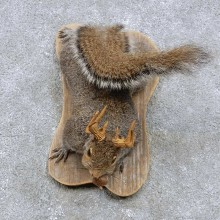 Grey Squirrel w/ Antler Mount For Sale #14439 @ The Taxidermy Store