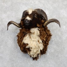 Arapawa Ram Shoulder Mount For Sale #19449 @ The Taxidermy Store