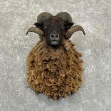 Arapawa Sheep Taxidermy Shoulder Mount For Sale