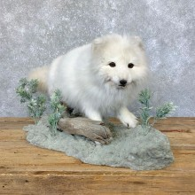 Arctic Fox Taxidermy Life-Size Mount For Sale #23912 @ The Taxidermy Store
