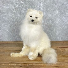 Arctic Fox Taxidermy Life-Size Mount For Sale #24821 @ The Taxidermy Store