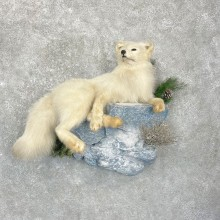 Arctic Fox Taxidermy Life-Size Mount For Sale #24922 @ The Taxidermy Store