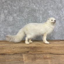 Arctic Fox Taxidermy Life-Size Mount For Sale #25235 @ The Taxidermy Store