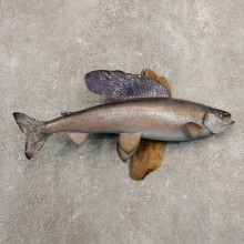 Arctic Grayling Fish Mount For Sale #20858 @ The Taxidermy Store