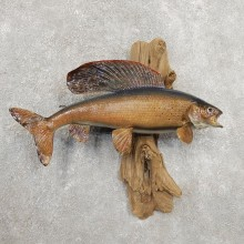 Arctic Grayling Fish Mount For Sale #20921 @ The Taxidermy Store