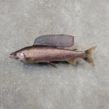 Arctic Grayling Fish Mount For Sale #21102 @ The Taxidermy Store
