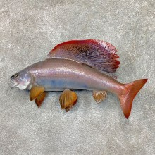 Arctic Grayling Fish Mount For Sale #23678 @ The Taxidermy Store