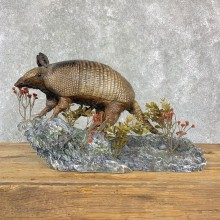Armadillo Life-Size Mount For Sale #23184 @ The Taxidermy Store