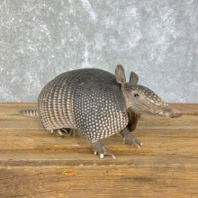 Armadillo Life-Size Mount For Sale #23975 @ The Taxidermy Store