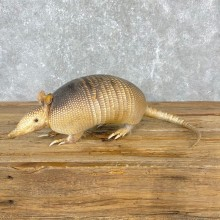 Armadillo Life-Size Mount For Sale #24405 @ The Taxidermy Store