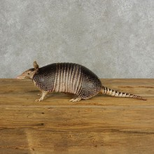 Armadillo Life-Size Mount For Sale #17054 @ The Taxidermy Stor