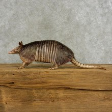 Armadillo Life-Size Mount For Sale #17055 @ The Taxidermy Stor