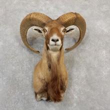 Armenian Mouflon Shoulder Mount For Sale #19994 @ The Taxidermy Store