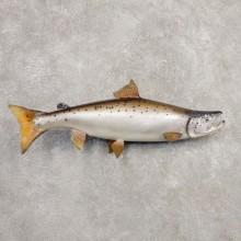 Atlantic Salmon Fish Mount For Sale