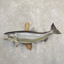 Atlantic Salmon Fish Mount For Sale #20840 @ The Taxidermy Store
