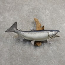 Atlantic Salmon Fish Mount For Sale #20901 @ The Taxidermy Store
