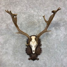Austrian Fallow Deer Skull Antler European Mount For Sale #23443 @ The Taxidermy Store