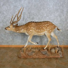 Axis Deer Life-Size Mount For Sale #15120 @ The Taxidermy Store